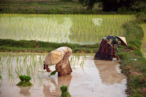 Harvesting rice in Laos | by David Hall Photography