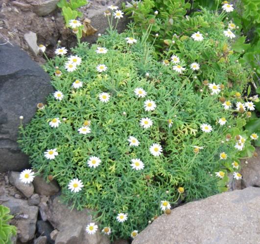 Argyranthemum frutescens 31195400050_827f93637d_o