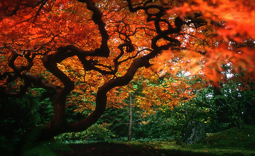 in the house of the japanese maple | by manyfires