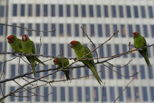 Parrots in the City | by Eliya