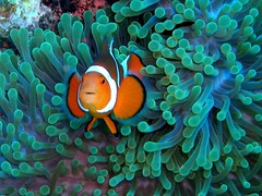 #015 clownfish (カクレクマノミ) | by Nemo's great uncle