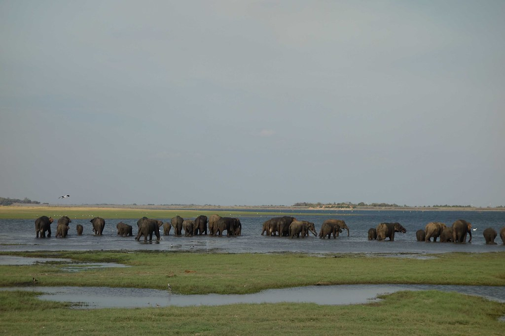 Sri Lanka - Kaudulla Elephants