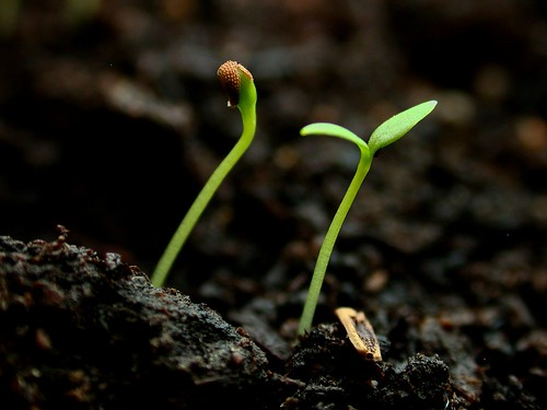 Seedlings Common chickweed | by --Tico--