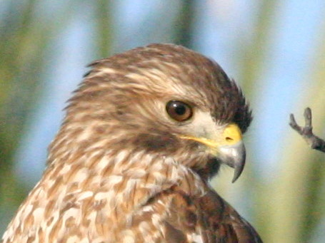 Red-shouldered Hawk Head 20090103