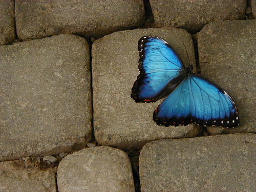 Blue Butterfly on Tile | by Chris Campbell