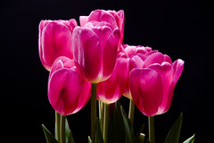 Tulips - 2 | by canbalci