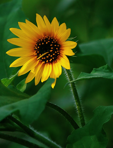 Sunflower | by V. Mason