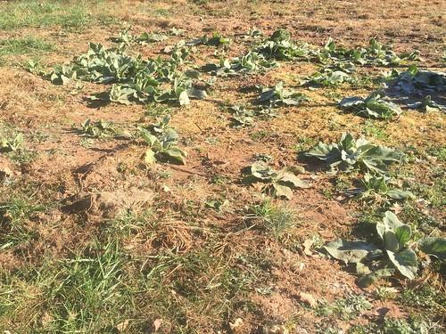 Verbascum thapsus Mullen BGO