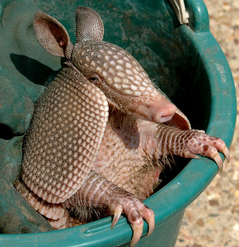 Armadillo Dees | by Jeff Clow