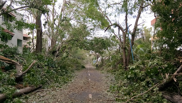 Though many trees were uprooted by the cyclonic storm, indigenous varieties like peepal, banyan and neem seem to have fared better than the exotic ones like the raintree (called 'thoongu moonji maram' in Tamil) and gulmohar.