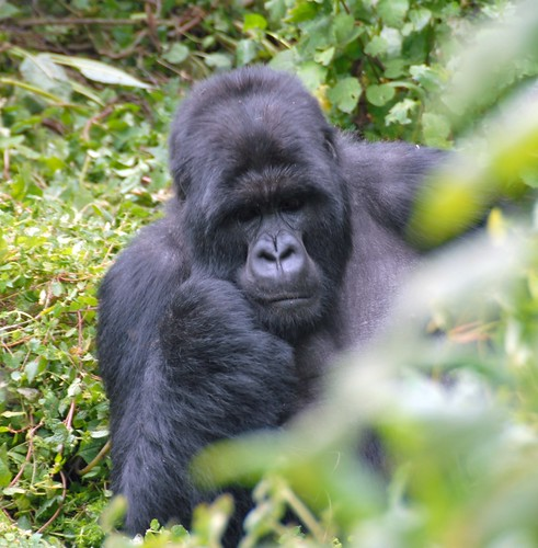 Susa group, mountain gorillas | by Dave Proffer
