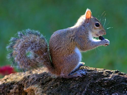 Gray Squirrel 20170101