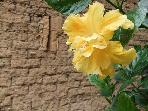 An adobe wall with a yellow hibiscus flower in San Sebastian, a Pueblo Magico in the state of Jalisco, Mexic