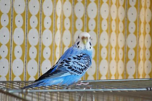 """Budgerigar_Ico_(2016_12_20)_2_resized_1 セキセイインコの女の子である """"イコ"""" ちゃんを撮影した写真。 綺麗な青い色をしている。 鳥籠の上に乗り、体は右奥を向いた状態でこちらに顔の正面を向けている。"""