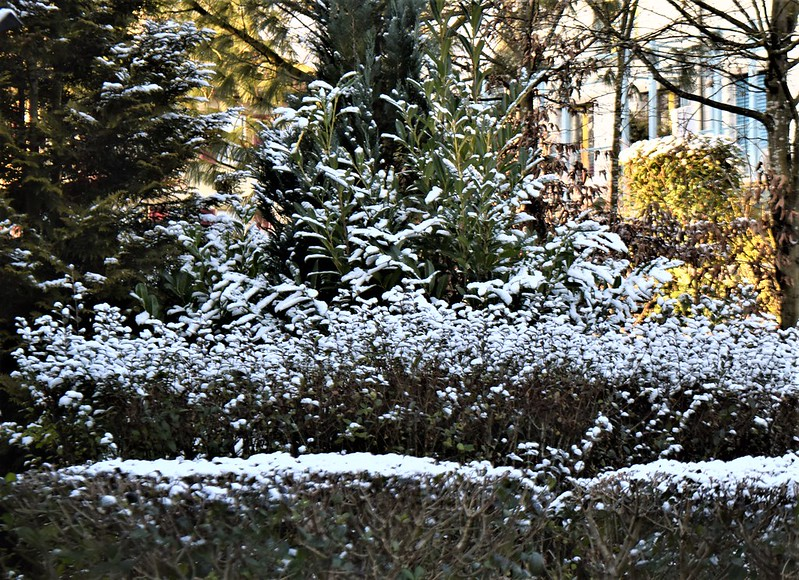 Snow in Front Garden 03.01 (6)