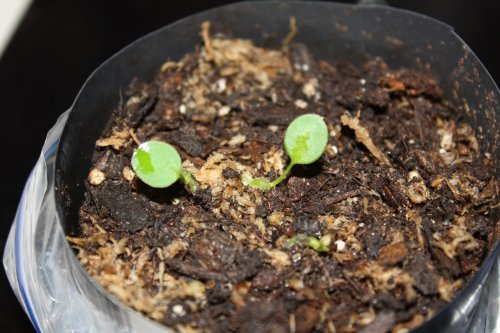 anth_pallidiflorum_seedlings_20110423