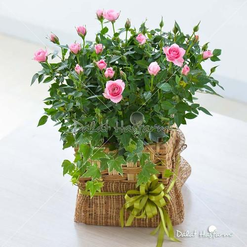 hoa hồng đẹp mừng sinh nhật bạn gái