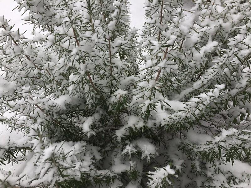 Rosemary in snow