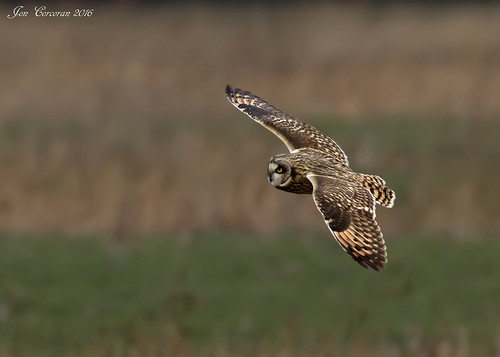 """Northern"" Short-eared Owl"