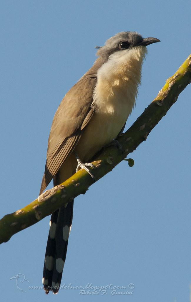 Cuclillo canela (Dark-billed Cuckoo) Coccyzus melacoryphus