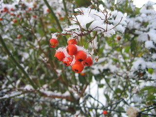 Berries in the Snow | by Partjob
