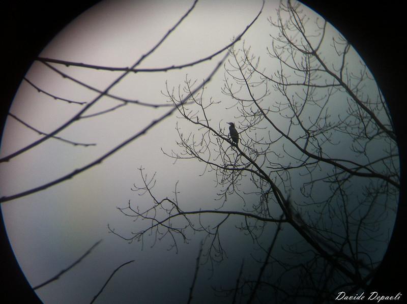 Phalacrocorax carbo (Cormorano Comune)