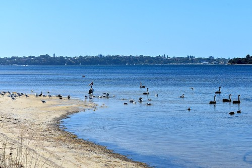 Birds on the Swan River, 7 January 2017