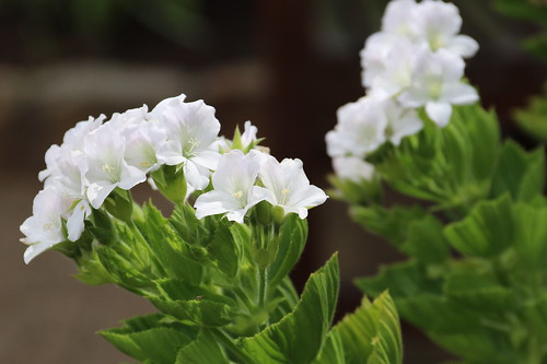 Pelargonium cucullatum subsp. strigifolium