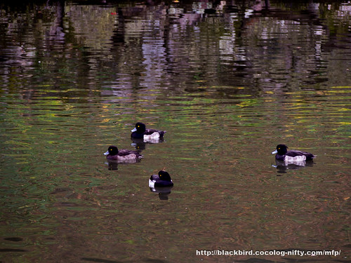 waterfowl #08