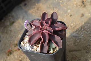 131 Echeveria racemosa  エケベリア ラケモサ