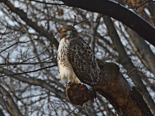 Riverside Red-Tail - 0998
