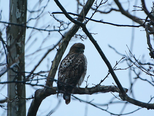 Riverside Juvenile Red-tail - 0884