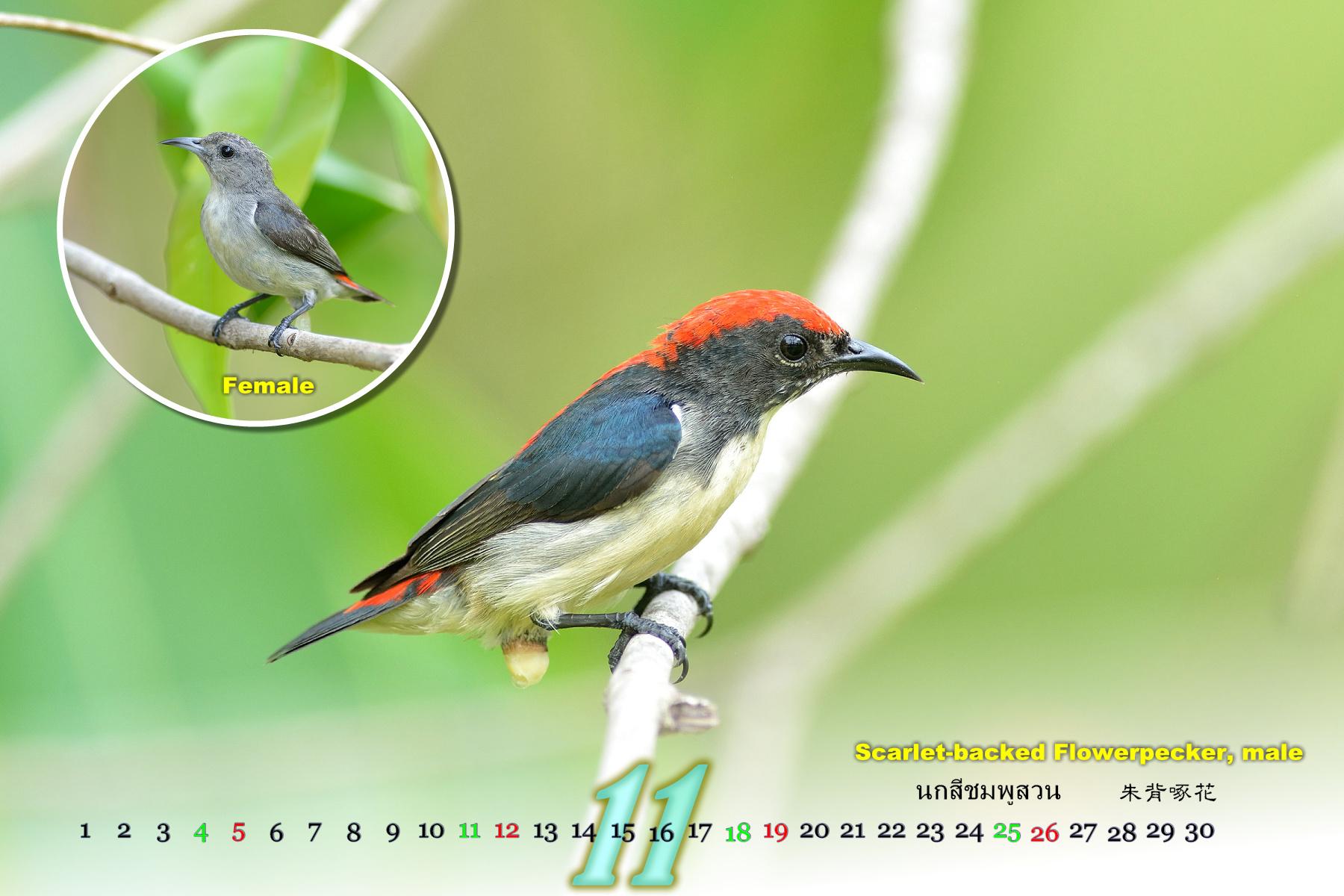 Thai Bird Calendar 2017_11