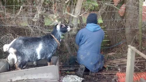 goats Jan 17 3