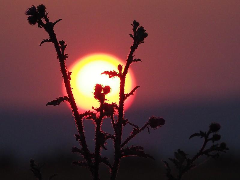 Distel in Sunset