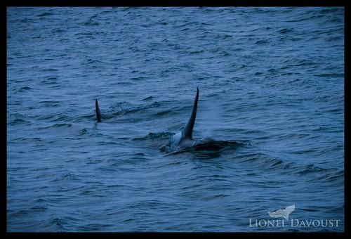 Icelandic orcas
