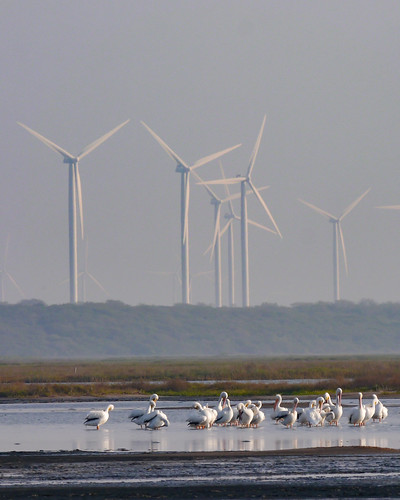 American White Pelicans and Windmills