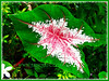 Caladium Rosebud (Rose Bud Caladium, Fancy Leaf Caladium, Angel Wings, Elephant Ears)