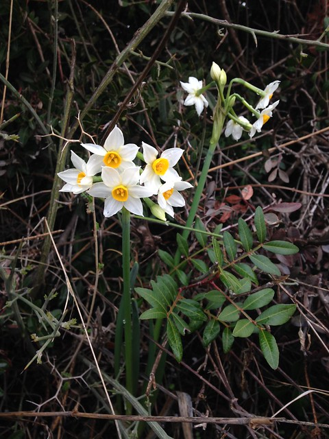 Narcissus and Mastic