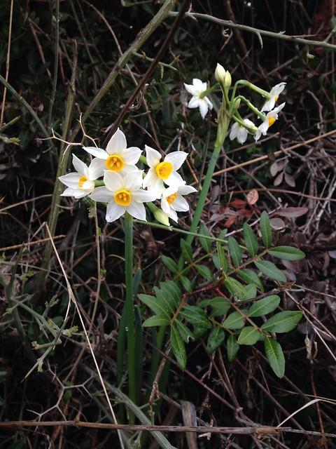Narcissus and Mastic