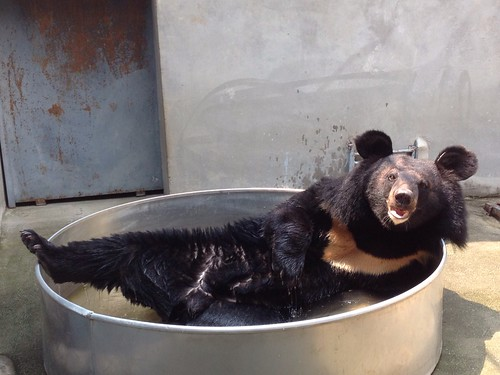 A bear enjoying his metal pool, Nanning May 2015