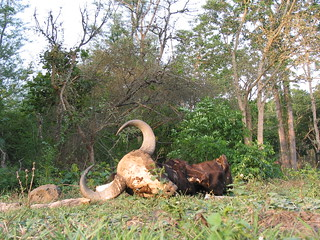Remains of a Gaur killed by a tiger | by reachanil