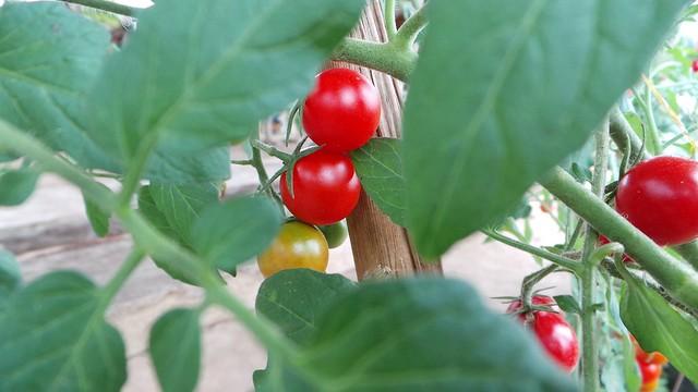 Organic-Cherry-Tomatoes