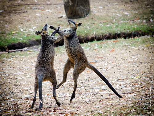 The Mighty Wallabies
