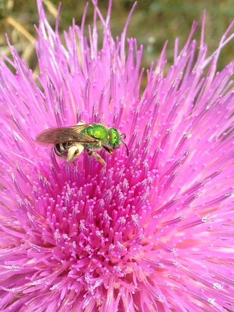 Green Sweat Bee on Wavyleaf Thistle