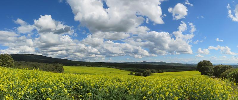 yellowfields
