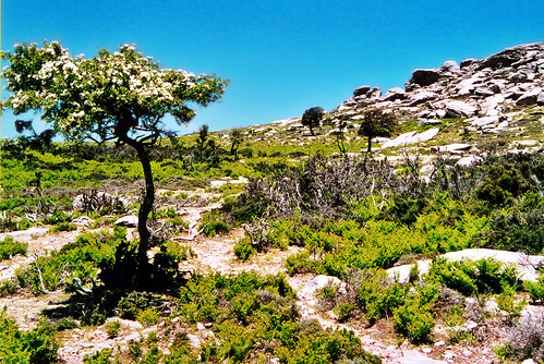Hawthorn with white blossoms on the plateau
