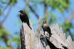 Brown-headed Cowbird (male & female) | by tbtalbottjr