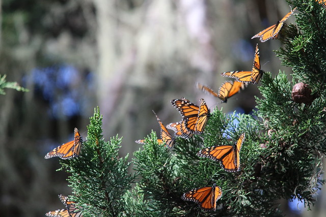 Monarch Butterflies Overwintering in Pacific Grove, California