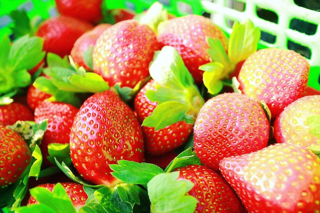 【旅遊】大湖草莓正式開跑-吉星草莓園 全家出遊採莓趣
